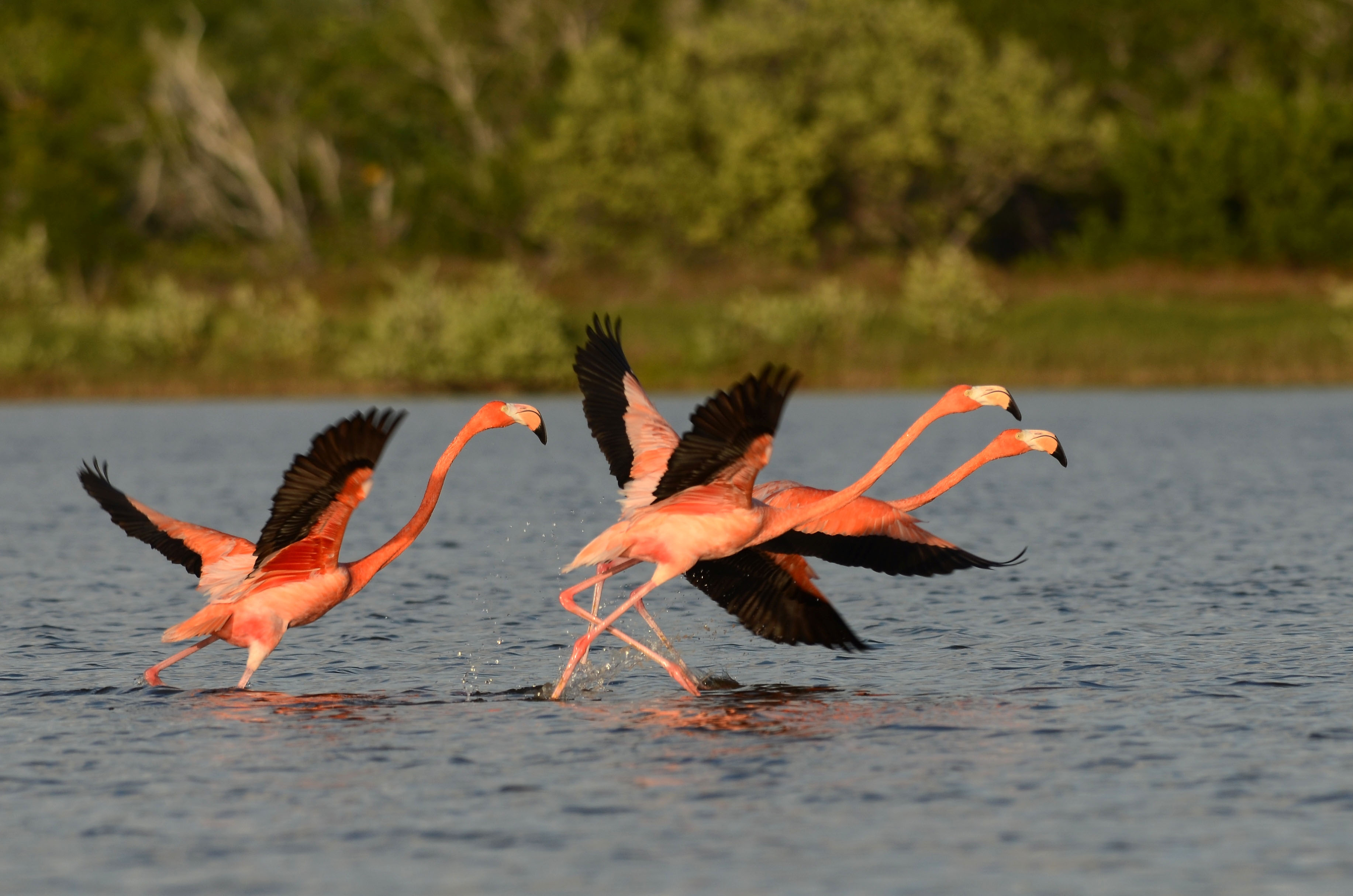 Watch spectacular pink flamingos fly
