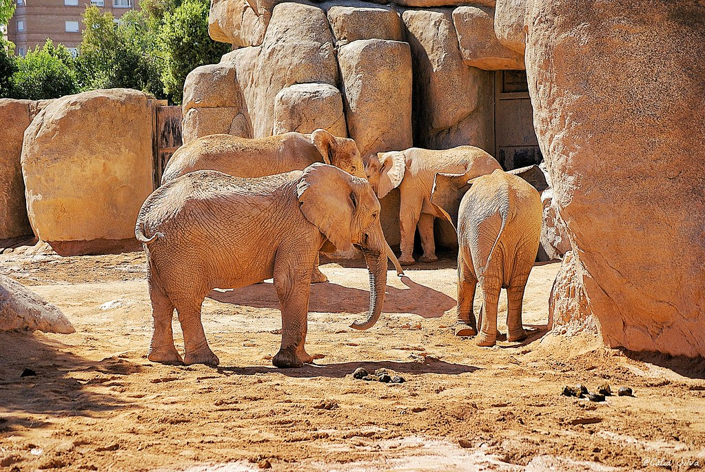 Bioparc Valencia_ Sabana (1) Elefante Africano de Sabana
