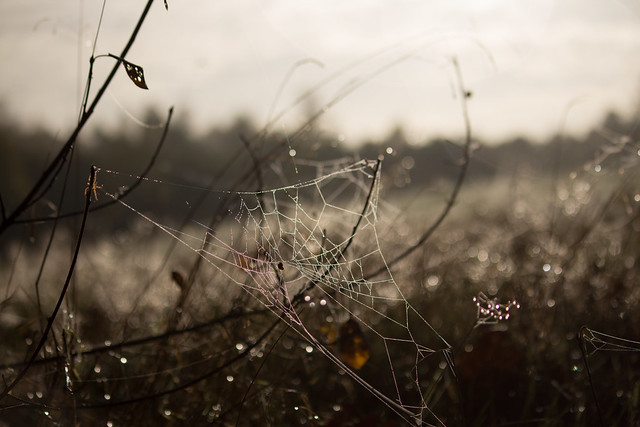 Spiderwebs near Silkeborg