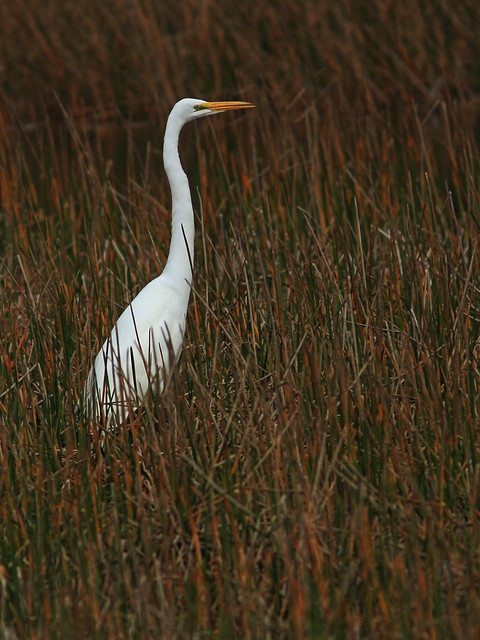 Great Egret Canon 60D 20141202