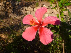 annual plant, flower, leaf, red, nature, malvales, wildflower, flora, chinese hibiscus, pink, petal,
