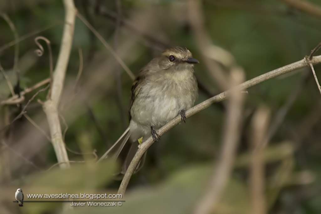 Mosqueta ceja blanca (Fuscous Flycatcher) Cnemotriccus fuscatus