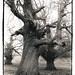 Twisty Tree, Battle of the Boyne Site, Co Meath, Ireland by Martins Photo Scrap Book