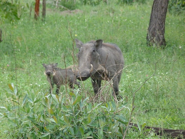 Facóquero madre e hijo en el Parque Nacional Kruger de Sudáfrica