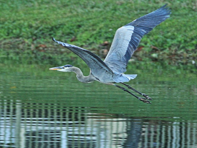 Great Blue Heron 20141231