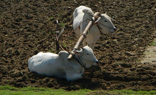 Oxen by U Bein Bridge