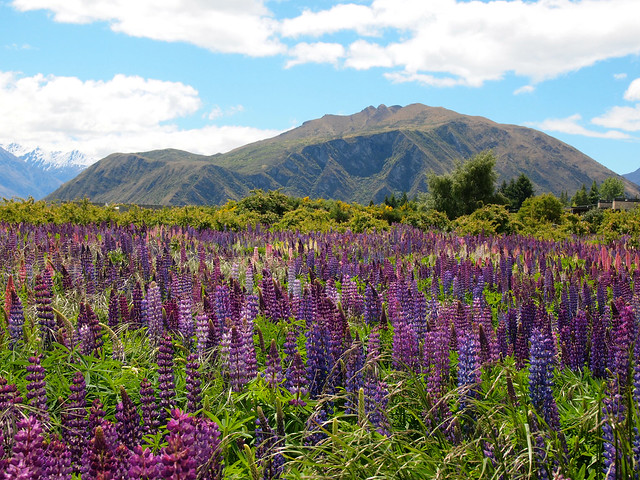 Lupins in Wanaka, New Zealand