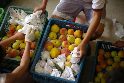 司馬庫斯的水蜜桃。圖片來源:司馬庫斯facebook