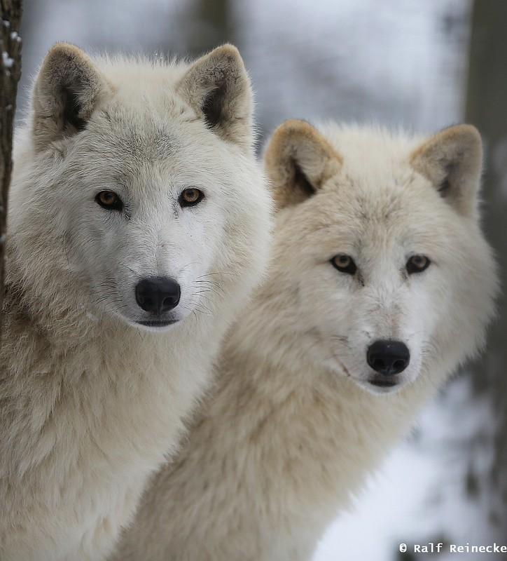 Artic Wolf - Zoo Schönbrunn January 2015 12