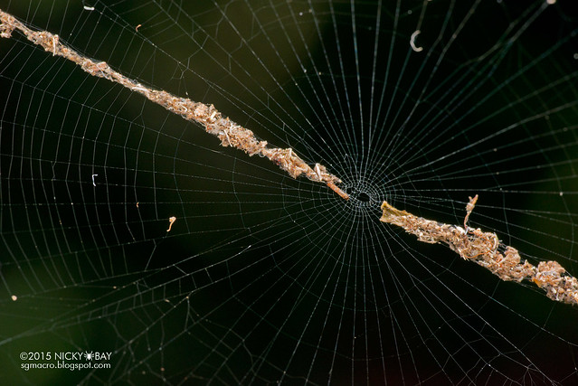 Trashline orb web spider (Cyclosa sp.) - DSC_7818