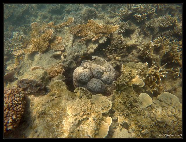 Brain Coral Snorkeling Pulau Besar Pehentian Islands Malaysia