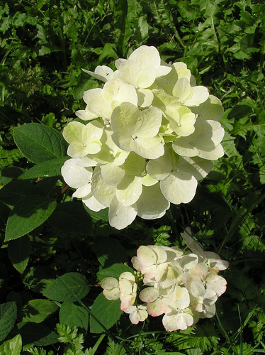 Hydrangea paniculata 'White Diamonds'