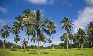 Coconut Tree Grove -- Kahanu Garden Hana, Maui (HI) October 2014 | by Ron Cogswell