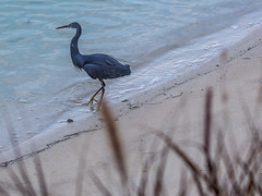 Stalking Bird