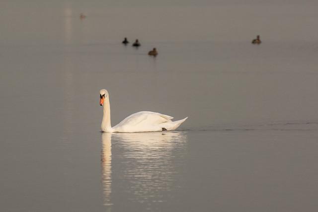DSC_2886 Swan