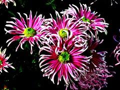 Chrysanthemum Show, Allan Gardens, Toronto, ON
