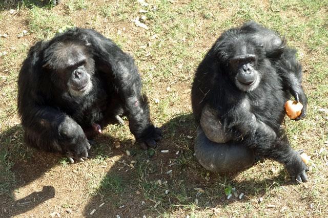 chimp haven sanctuary