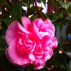 shrub(0.0), camellia sasanqua(1.0), rosa 㗠centifolia(1.0), floribunda(1.0), flower(1.0), camellia japonica(1.0), theaceae(1.0), pink(1.0), petal(1.0),