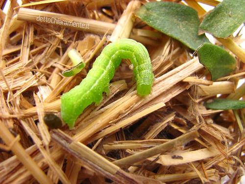 bruco verde, falena, larva, foglie mangiate
