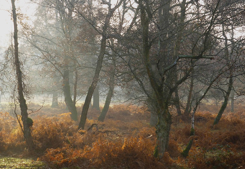 trees england mist fog hampshire newforest silverbirch newforestnationalpark worldtrekker