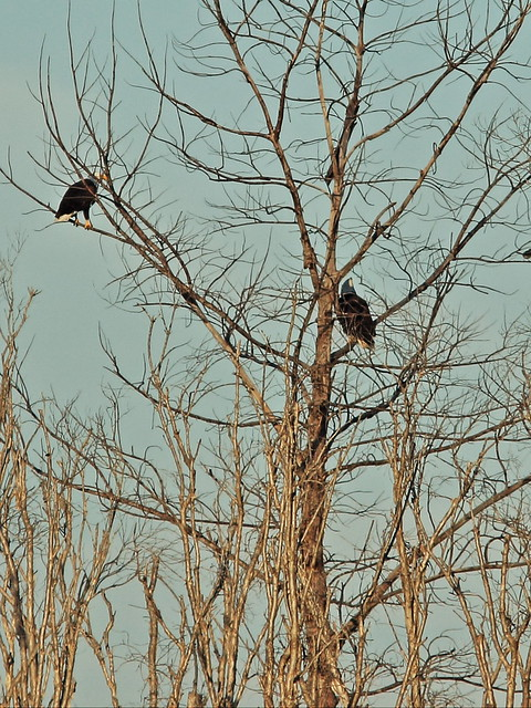 Bald Eagles in tree 01-20141210