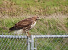 Red-tailed Hawk banded
