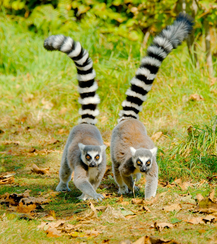 Ring-tailed Lemur (Lemur catta)_46