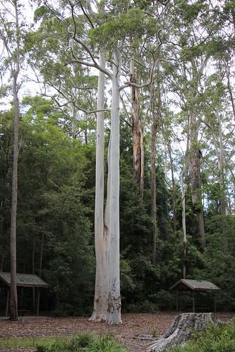 Mountain Blue Gum (Eucalyptus deanei)