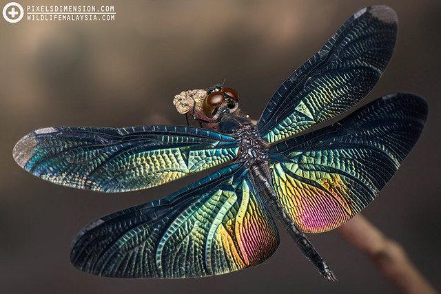 Greater Bluewing- Rhyothemis plutonia ♂