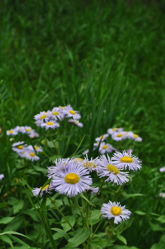 Roxborough Park - Erigeron