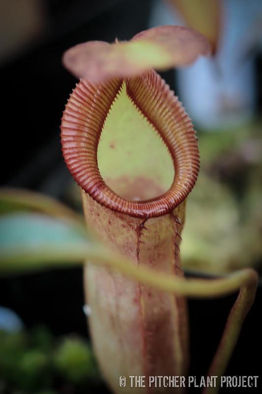 Nepenthes x ((eymae x (stenophylla x lowii)) x x trusmadiensis)