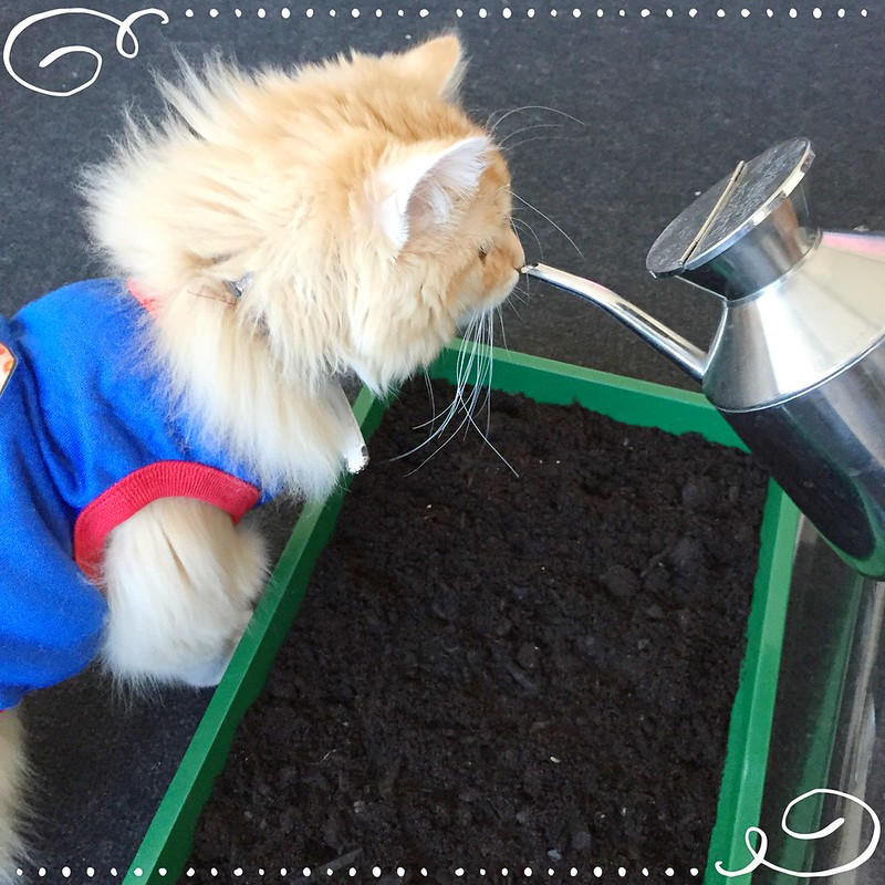 Watering the soil to keep it moist