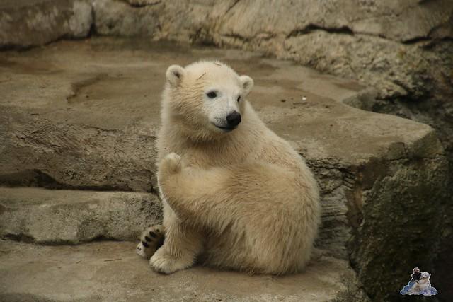 Eisbär Lilli im Zoo Bremerhaven 30.04.2016 Teil 2  59