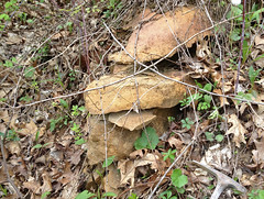 """Fossiliferous """"ocherous earth"""" limestone (Maxville Limestone, Mississippian; County Road 49 roadcut southwest of Blissfield, Ohio, USA) 4"""
