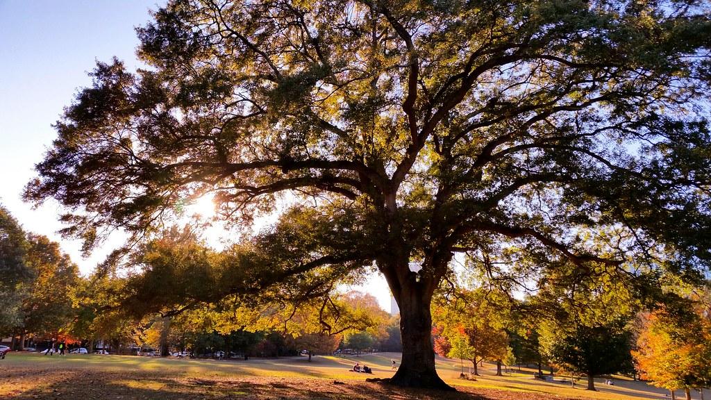 Piedmont Park, Fall Tree