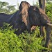 Small photo of African Elephant, Uganda