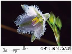 異蕊草-02