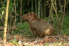 animal, rodent, fauna, marmot, capybara, wildlife,