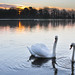 Small photo of Swans at Bolam