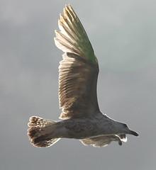seagull (5)
