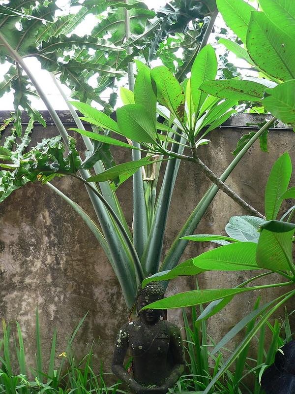 Philodendron sp., Clitorea ternatea [id. non terminée] 15560954213_d2cdbb2962_c