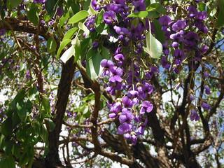 Tree Wisteria (Bolusanthus speciosus) native of Africa