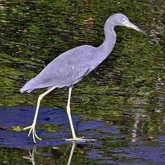 great egret(0.0), egret(0.0), wetland(1.0), animal(1.0), fauna(1.0), little blue heron(1.0), heron(1.0), pelecaniformes(1.0), beak(1.0), bird(1.0), wildlife(1.0),
