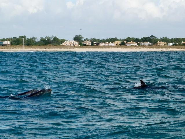 Delfines en el estuario del Sado (Tróia, Alentejo, Portugal)