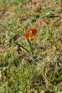 Gladiolus alatus グラジオラス アラツス