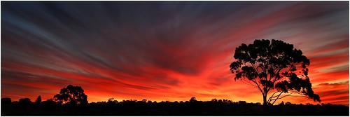 sunset tree gum perth eucalypt westernaustralia swanriver attadale eucalptus swanestuarymarinepark canon5d3 208bburkedrive