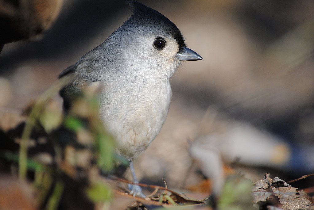 Острохохлая синица - Tufted Titmouse