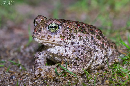 Sapo-corredor, Natterjack toad (Epidalea calamita) - em Liberdade [in Wild]