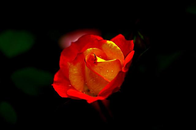 tsuping.liu - IMGP5257 Rose