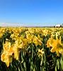 farm field daffodils